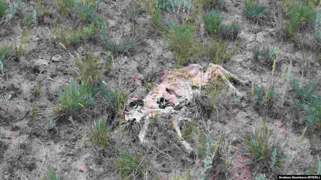 Разложившаяся туша детеныша сайги недалеко от аула Кабырга. 8 июня 2015 года.