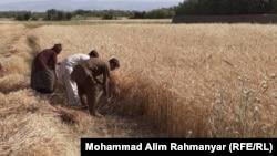 حدود هفت میلیون دهقان در افغانستان که با تهدید خشکسالی شدید روبهرو اند.