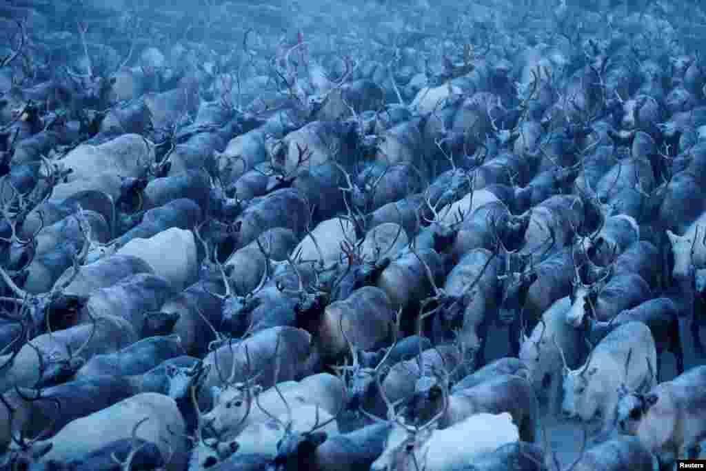 Традиционно в зимние месяцы оленеводы собирают стада в загоны, чтобы отобрать слабейших животных для убоя.