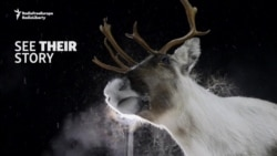 A Norwegian Village And Its Radioactive Reindeer