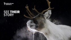 A Norwegian Village And Its Radioactive Reindeer