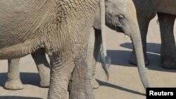 Слонёнок среди взрослых слонов, снимок сделан в Южной Африке в 2014 году (архивное фото).
