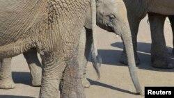 Слонёнок среди взрослых слонов, снимок сделан в Южной Африке в 2014 году (архивное фото)