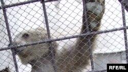 Тянь-Шаньский бурый медведь в незаконном зоопарке. 2010 год.