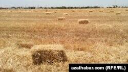 Türkmenistandaky ekin meýdanlaryň biri.