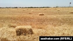 Пшеничное поле, Туркменабад