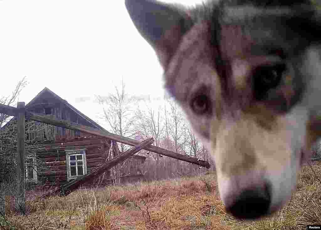 A wolf peers into the camera in Orevichi, Belarus.