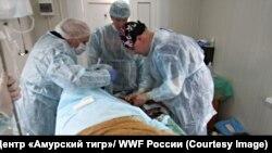 (С) Центр «Амурский тигр»/ WWF России