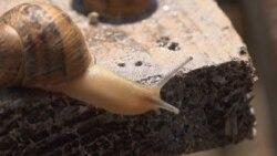 Ukrainian Snail Sales Sluggish As Lockdowns Bite Into Business