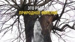 Совершенная красота: фонтан из шелковицы