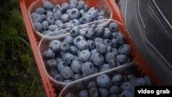 Часто українці їздять у Польщу «на ягоди»