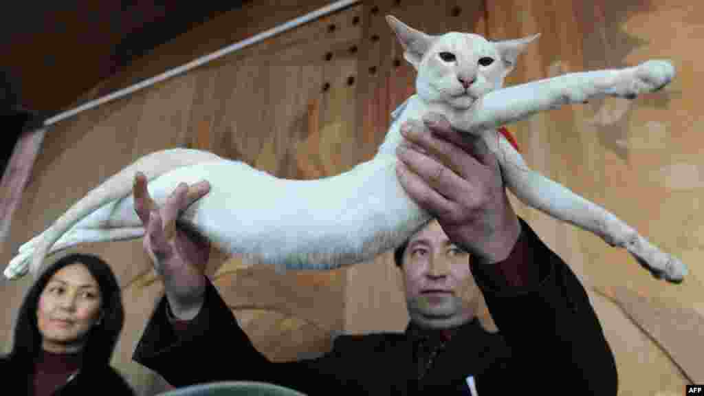 An owner proudly shows off his Siamese cat.
