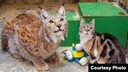 Кошка Дуся и рысь Линда. Фото Ленинградского зоопарка
