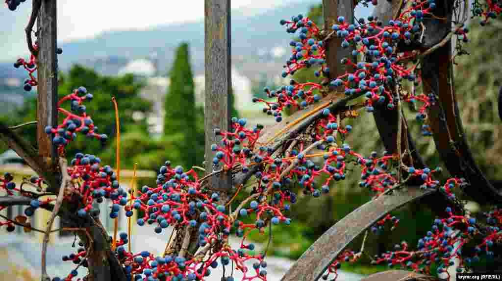 Дикий виноград на заборе санатория «Гурзуфский»