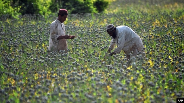 Afghan farmers score opium poppies during a harvest in Sistani, Helmand Province.