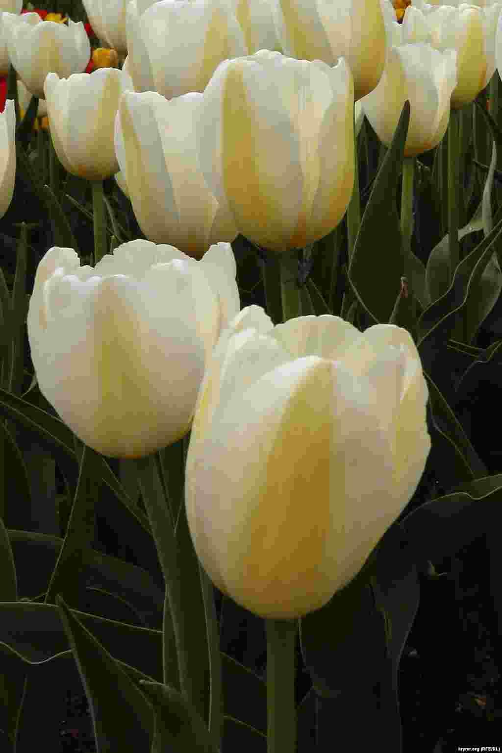 Лише обізнані фахівці знають, що для того, щоб з'явився новий сорт або гібрид тюльпанів, селекціонерам потрібно цілеспрямовано попрацювати від 6 до 22 років.
