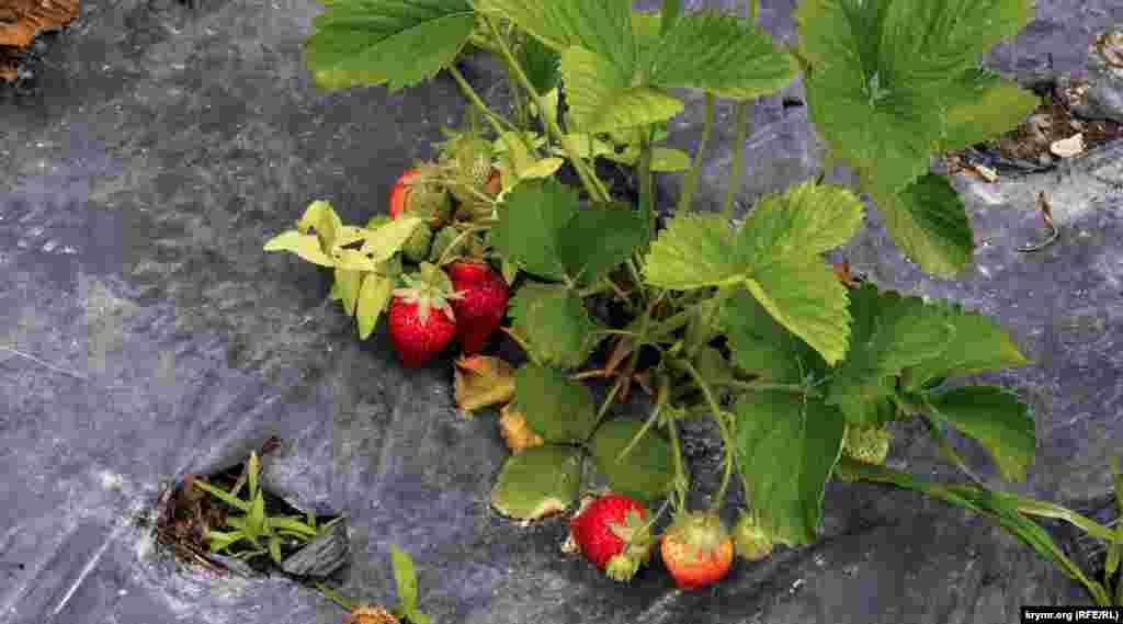 Несмотря на затянувшиеся хмурые и дождливые дни, клубника на здешних подворьях понемногу созревает. Правда, из-за нехватки солнца желанной сладости ягода все же пока не набирает. Еще хуже, если проливные дожди затянутся надолго – ягода может сгнить, не созрев
