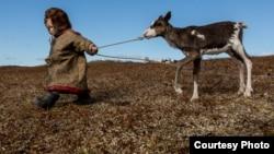 Tundrada yaşayan balaca nen. 2016 (foto: Pyotr Shelomskiy)