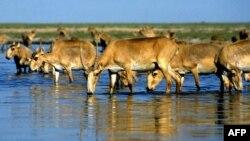 Сайгаки пьют воду в озере недалеко от Алматы. Иллюстративное фото.