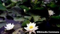 Белая водяная лилия (Nymphaea alba) внесена в этом году в Красную книгу Литвы