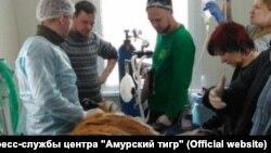 Раненная тигрица