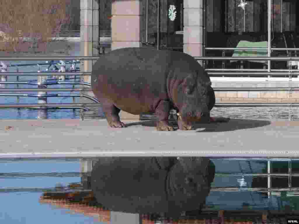 """Ženka nilskog konja, Nikica, nakon kraće ¨šetnje¨ vratila se u svoje stanište na obali Skadarskog jezera, kod ugostiteljsko-turističkog kompleksa """"Plavnica"""". Foto:Savo Prelević"""