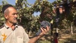 Винограда много, покупателей нет