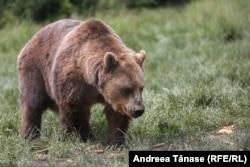 Mulți dintre urșii de la Sanctuarul Libearty au fost tratați cu drag de către oameni, cât timp erau pui - oamenii îi hrăneau sau își făceau poze cu ei, unul dintre urși chiar făcea naveta pe tren, spun cei care îi îngrijesc acum. Situația se schimbă însă când urșii cresc.