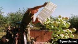Сёлета на Пастаўшчыне лішкі яблыкаў не было куды здаць — кансэрвавы завод у Паставах збанкрутаваў.