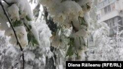 Flori de vișin acoperite de zăpadă, Chișinău, 20 aprilie 2017.