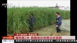 Çində 2 metr hündürlüyündə çəltik sortu yaradılıb (Reuters)