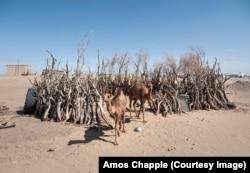 Два верблюда выходят из загона в сельской местности.