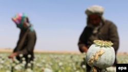 Afghan farmers extracts raw opium to be processed into heroine at a poppy field in Helmand, April 2016.