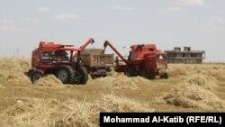 حصاد هذا العام 2013 في نينوى.