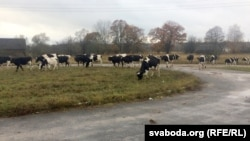 Каровы Аляксандра Бельчука