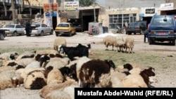 رعي الاغنام في طرقات الاحياء السكنية في كربلاء(الارشيف)