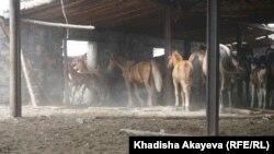 Лошади на ферме в населенном пункте Балта-Тарак, Восточно-Казахстанская область. 9 июня 2020 года.