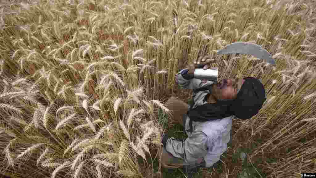 A laborer drinks water while harvesting wheat crop at a field in Jhanpur village of the northern Indian state of Punjab. (Reuters/Ajay Verma)