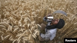 A laborer in India takes a break while harvesting wheat in the northern state of Punjab.