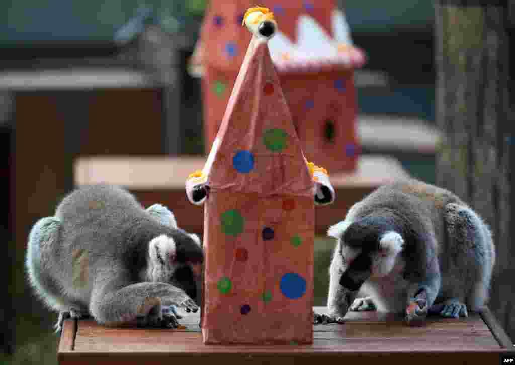 Лемурам австралийского зоопарка только предстоит узнать, что для них приготовили работники