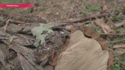 """""""Видовое окно"""" вместо зелени: кто отправил на дрова 163 дерева в историческом Киеве?"""
