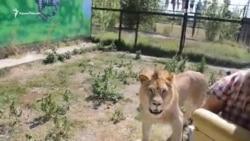 В сафари-парке «Тайган» лев «душил» туристов в объятиях (видео)