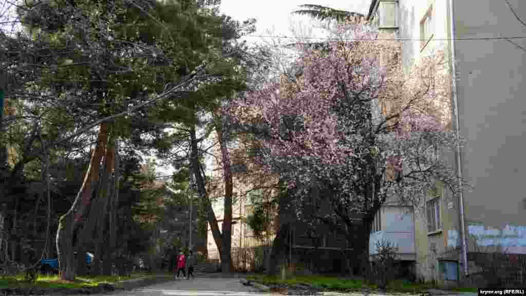 Первым на Южном берегу Крыма традиционно зацветает миндаль. Причем как дикий, так и садовый. В былые годы утопающие в белоснежном цвету деревья можна было увидеть уже в конце февраля – начале марта