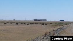 Пасущийся скот вблизи строящейся фабрики в районе Аксу в Акмолинской области