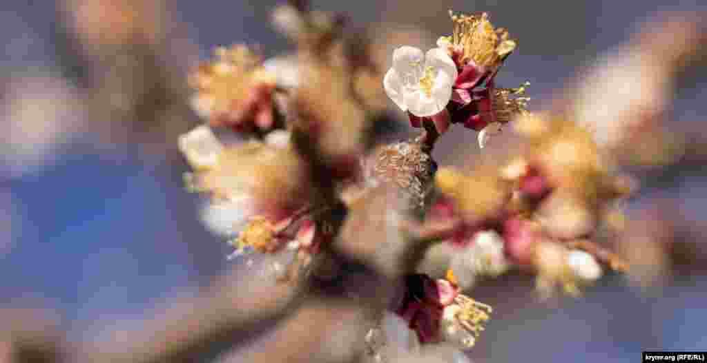 А це квітки абрикоса, правда, пошкоджені березневими і квітневими заморозками. Це типова проблема для середини весни в Криму. У російському МНС попереджають, що через погодні умови є ризик пошкодження і загибелі квітучих і ранніх кісточкових дерев.  Більше фото весняного Сімферополя – за посиланням