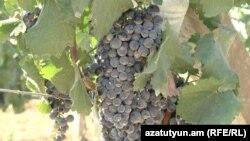 Armenia -- Grapes, undated.