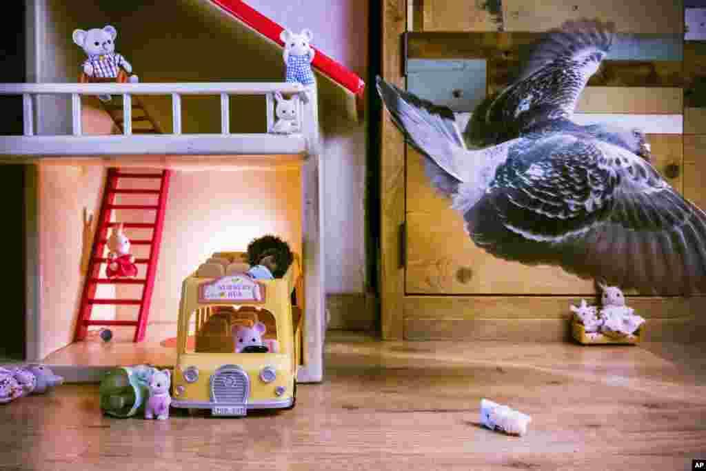 Голубь Олли летает в гостиной комнате,Влардинген, Нидерланды (30 апреля 2020).Пара одичавших голубей подружилась с изолированной во время пандемии семьей фотографа. Голубей назвали Олли и Долли. Первое место в категории «Природа, фоторепортаж», автор –Джаспер Дест