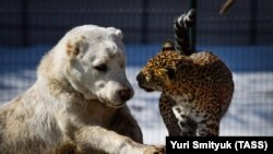 Elza (left), a Central Asian sheepdog, playing with Milasha, an African leopard cub.