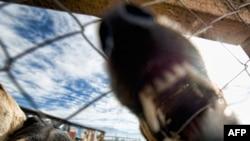 Культивируя агрессивные собачьи породы, люди сильно рискуют.