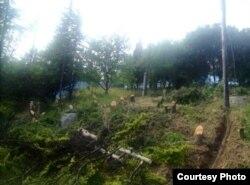 Вырубка реликтовых насаждений в Крыму. Гурзуф, 2015 год